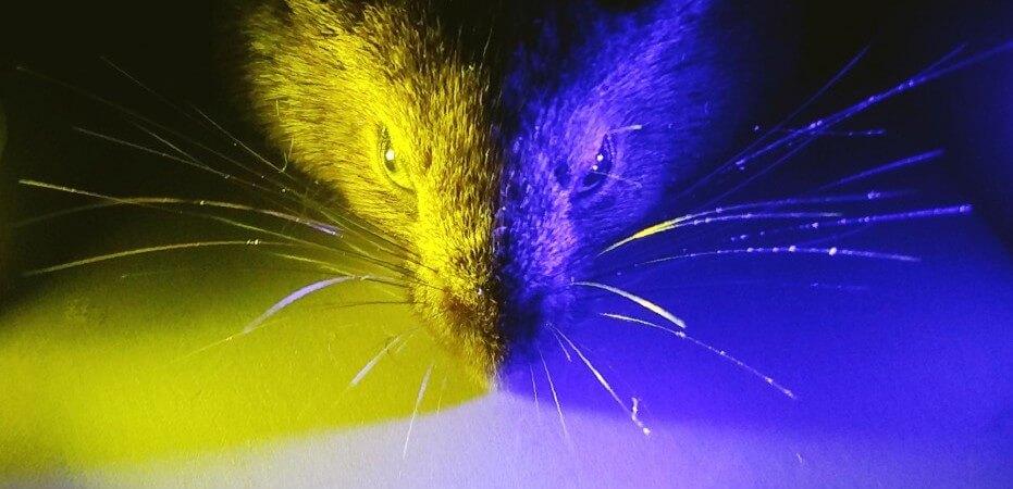 Ratón con luz amarilla y azul